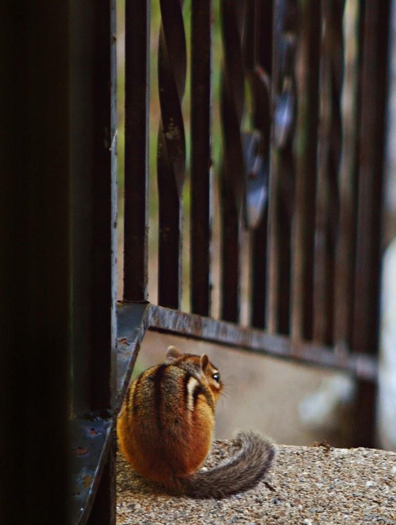 Chipmunk at the Gate